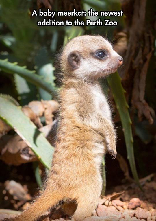 cute-baby-warthog-zoo-Australia