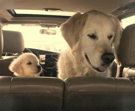 cute-dog-puppy-golden-retriever-car