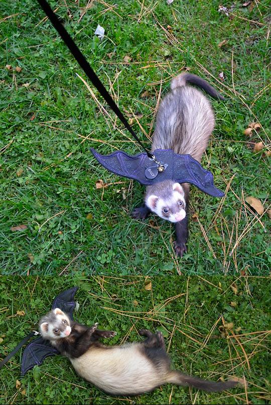 cute-ferret-bat-wings-accessories-grass