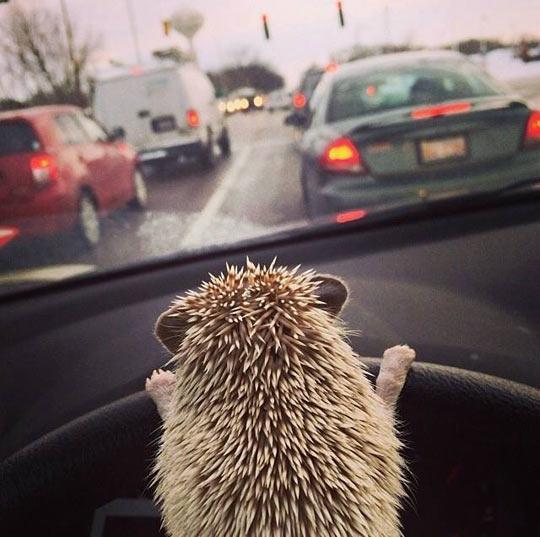cute-funny-hedgehog-driving-wheel-car