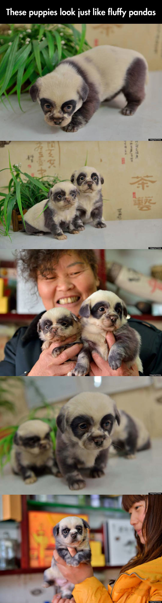 Chinese puppies imitate pandas…