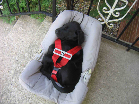 A Little Puppy Following Safety Nap Procedures