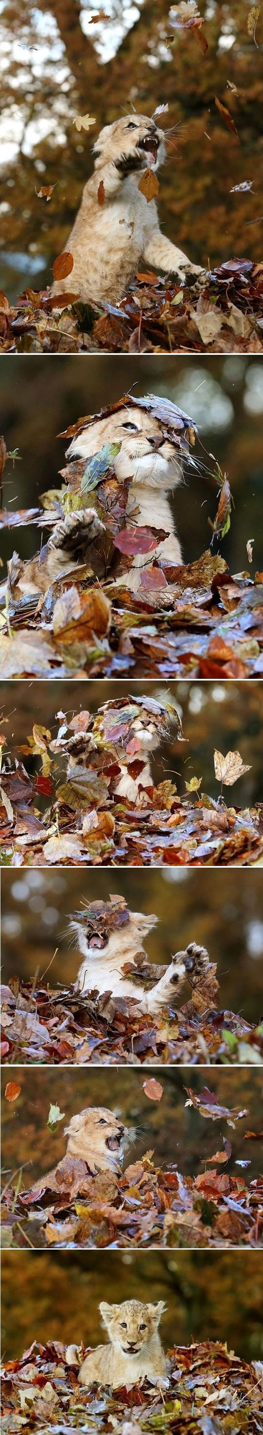 Baby Lion Playing With Leaves