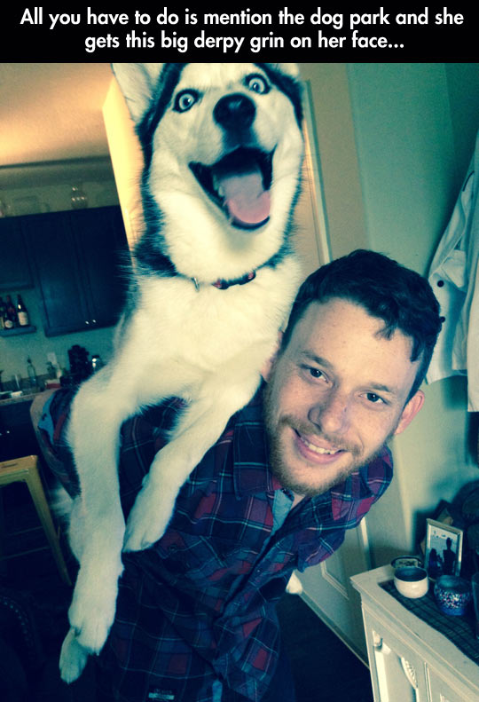 funny-Husky-dog-laughter-park-happy