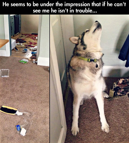 funny-Husky-dog-mess-hiding-trouble
