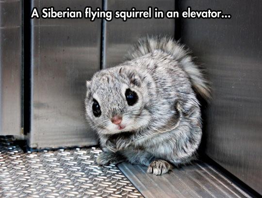 Siberian Flying Squirrel