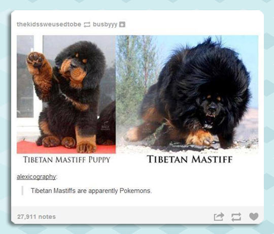 funny-Tibetan-Mastiff-baby-grown-up-difference