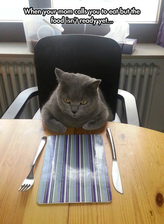 funny-cat-table-waiting-dinner