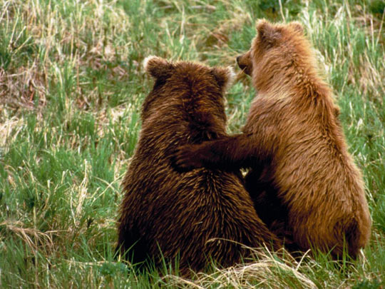 funny-cute-bear-cubs-hug