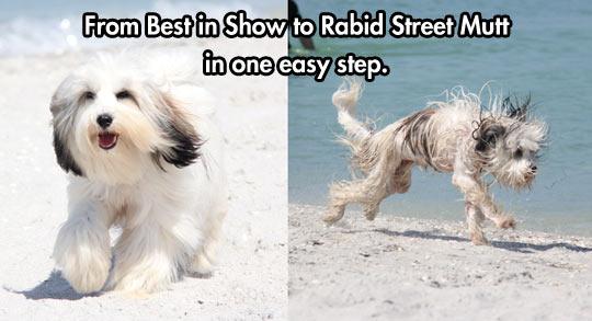 funny-cute-dog-Tibetan-Terrier-wet-beach