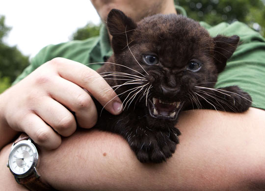 funny-cute-panther-cub-roar