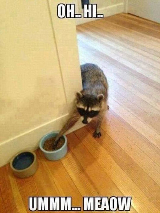 funny-cute-raccoon-cat-food-stealing