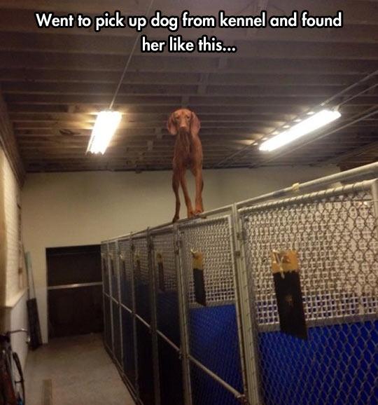funny-dog-equilibrist-fence-gym