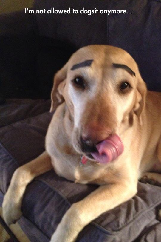 funny-dog-eyebrows-babysitting-prank