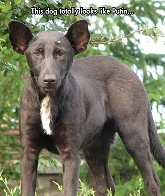 funny-dog-little-Putin-look-alike
