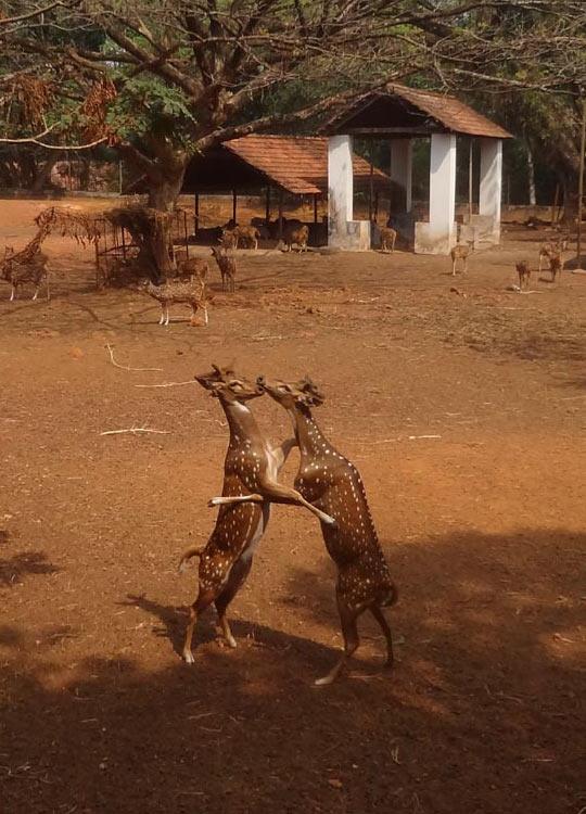 Rare kissing scene of deer caught on camera…