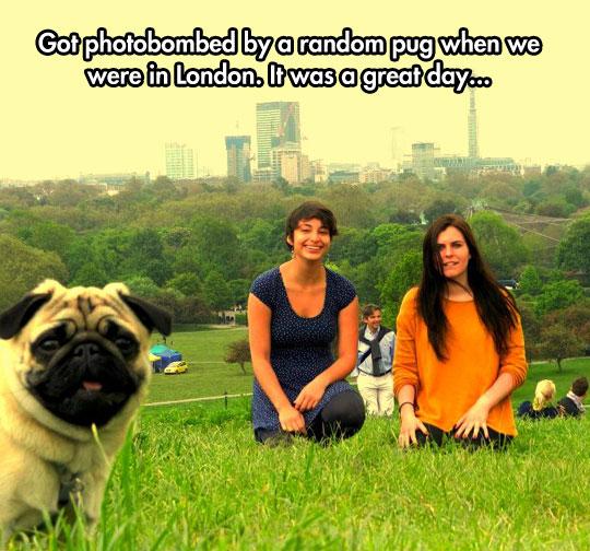 funny-girls-London-pug-photobomb