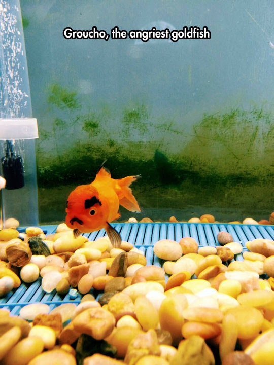 Grumpy Goldfish Gives Grumpy Cat a Run For His Money