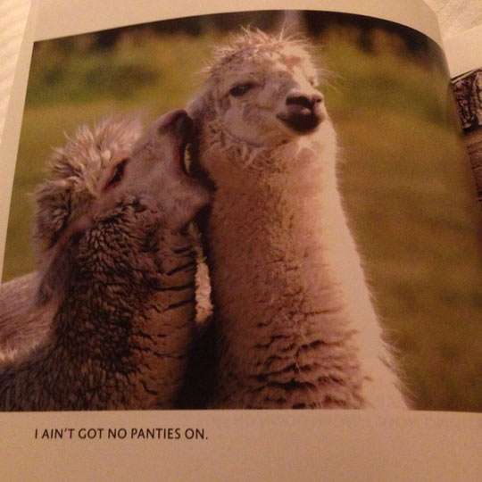 funny-llama-alpacas-book-whisper