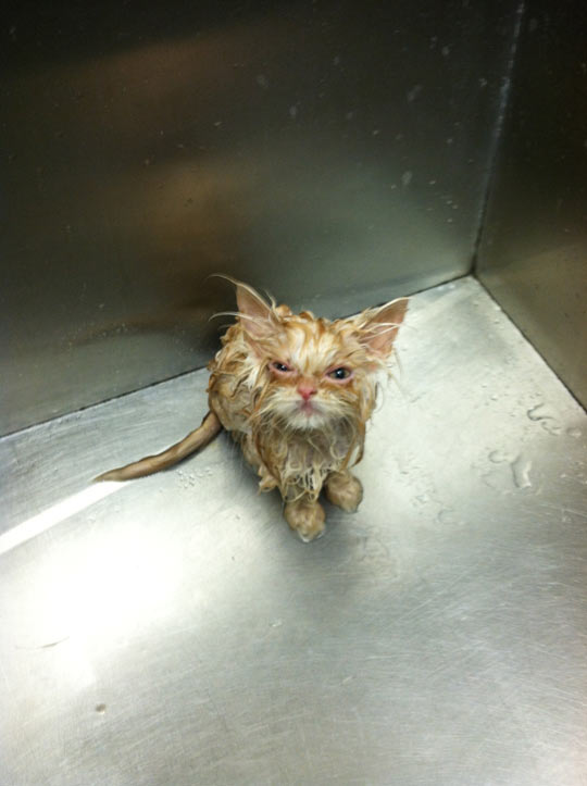 funny-wet-cat-after-bath