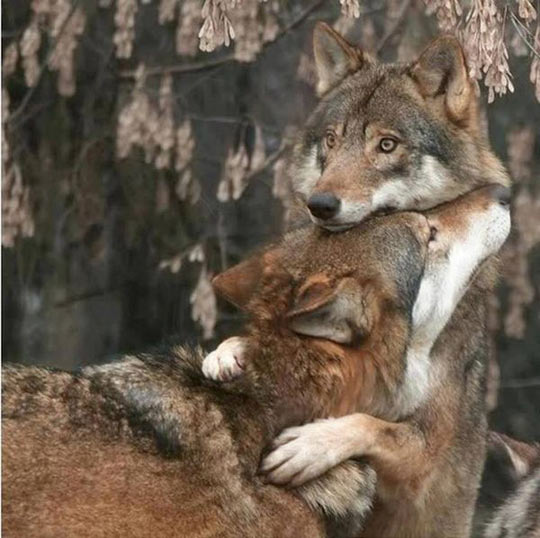 funny-wolves-hugging-startled-expression-face-cute