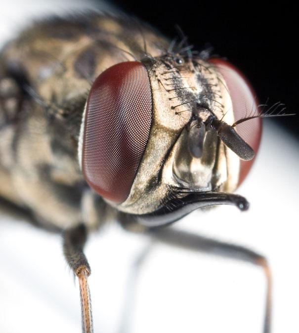 20-Incredible-Eye-Macros-fly2
