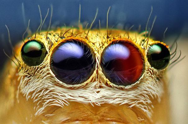 20-Incredible-Eye-Macros-jumping-spider1