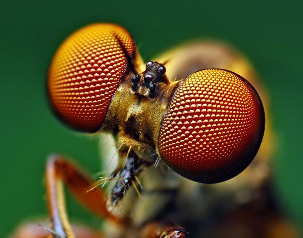 20-Incredible-Eye-Macros-robber-fly2