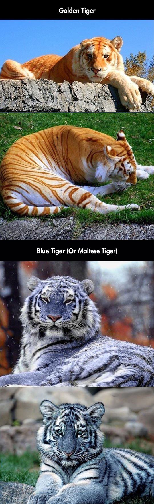 I Had No Idea There Were Blue Colored Tigers Too
