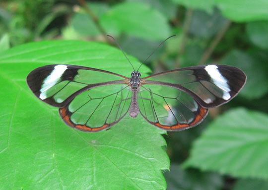 A Glasswinged Butterfly