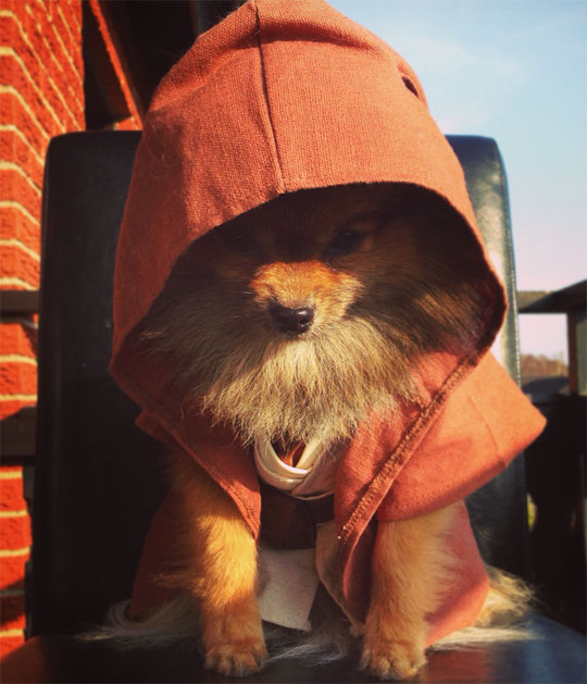 Jedi Master Pomeranian Is Watching You