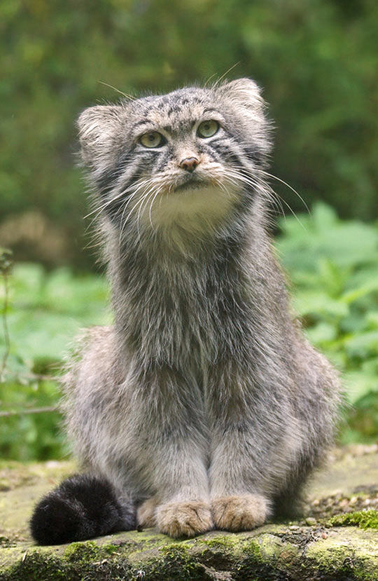 Manul, Sometimes Called a Pallas Cat
