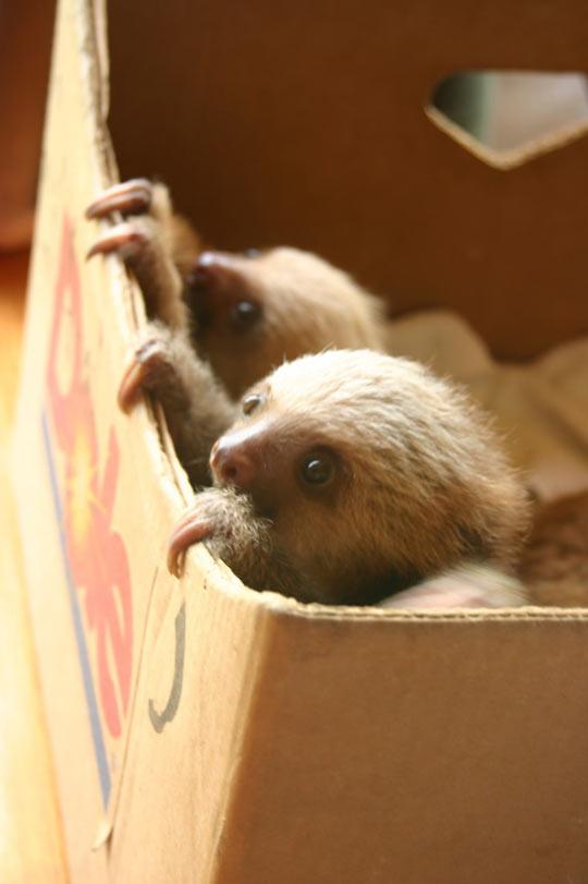 cute-baby-sloth-cardboard-box