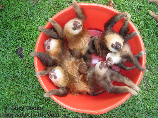 The Most Adorable Bucket Of Baby Sloths In The World