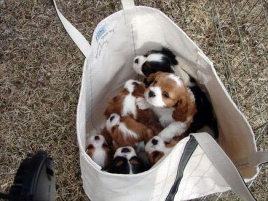 cute-bag-puppies-dog-Cavaliers