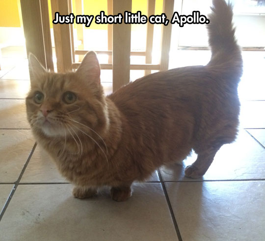 It's a Cat Version Of a Corgi