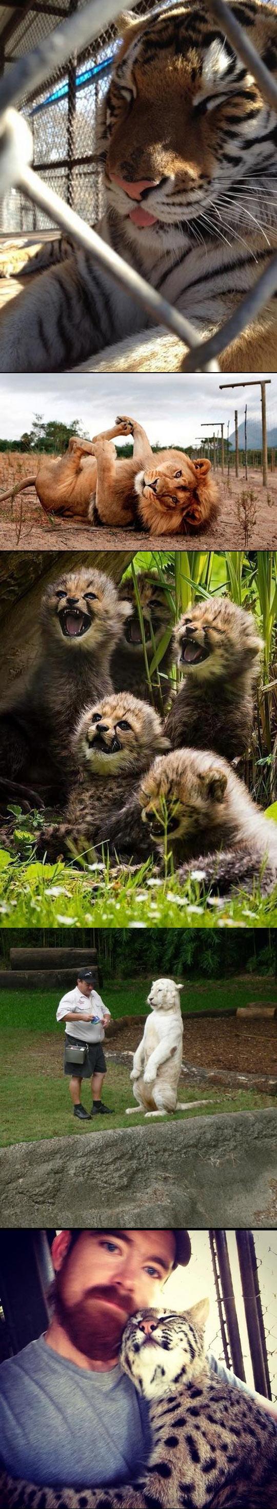 cute-tiger-big-cats-cheetah