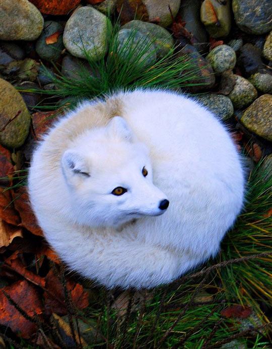 Gorgeous Arctic Fox
