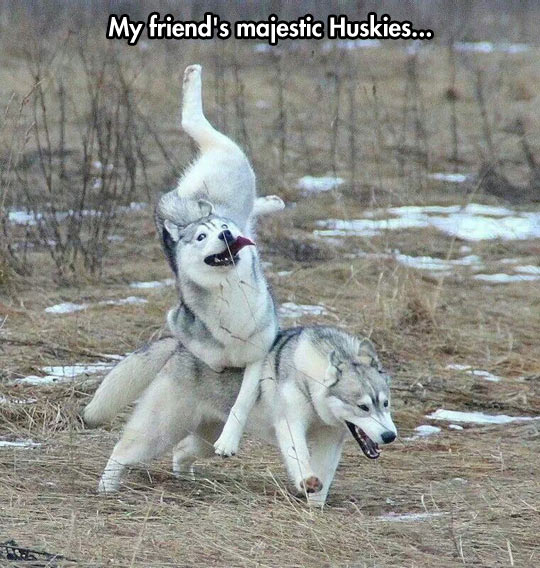 funny-Husky-dogs-dumb-jumping