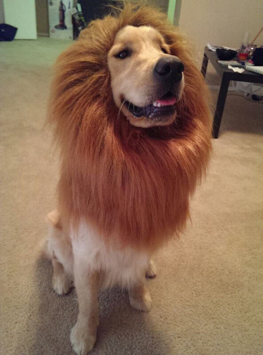 funny-Lion-King-dog-disguise-mane