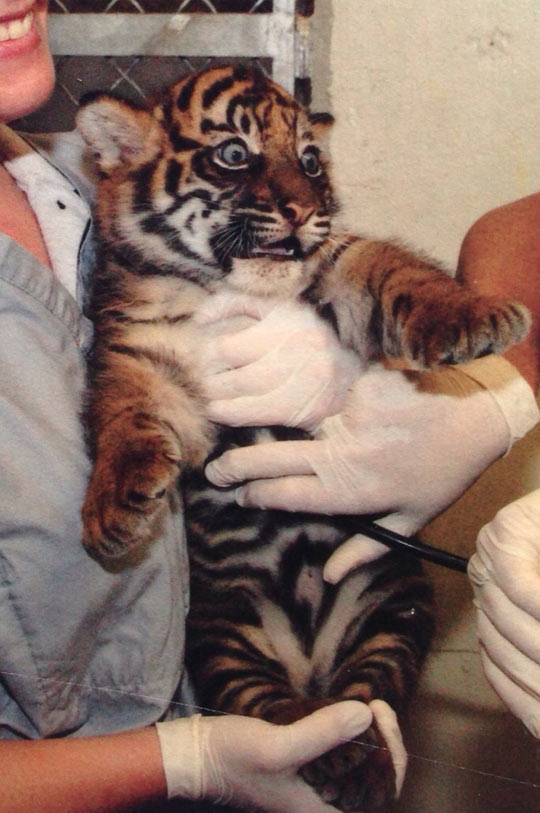 funny-baby-tiger-scared-face