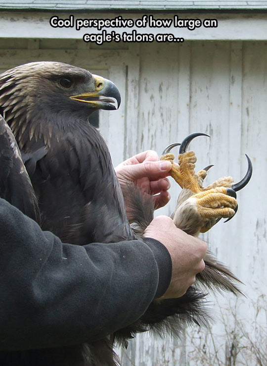 Eagles Have Large Talons
