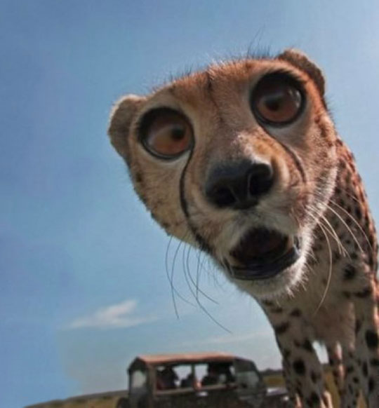 Cheetah Derping Into The Camera…