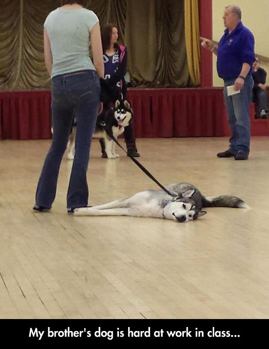 Husky Is Not In The Mood