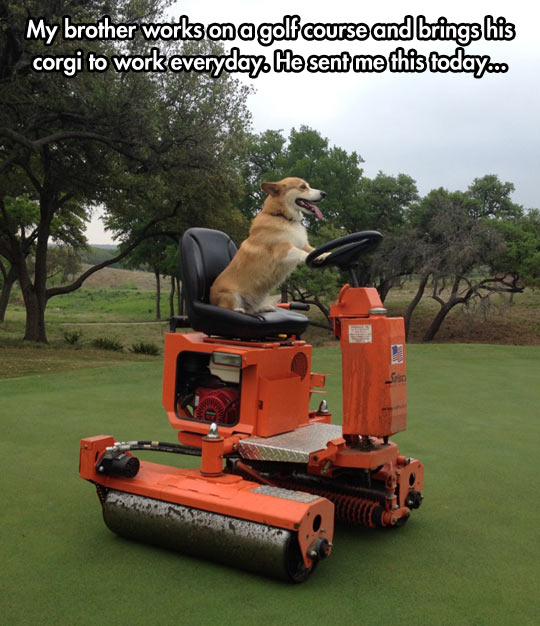 funny-corgi-golf-field-grass