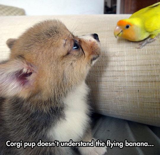 funny-corgi-puppy-yellow-parrot-confusing