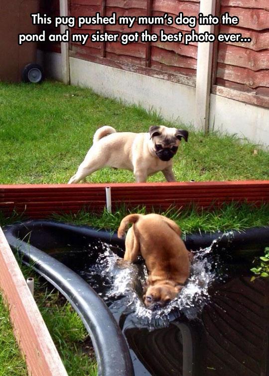 funny-dog-pool-pushed-falling