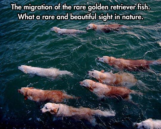 funny-dog-retriever-ocean-nature