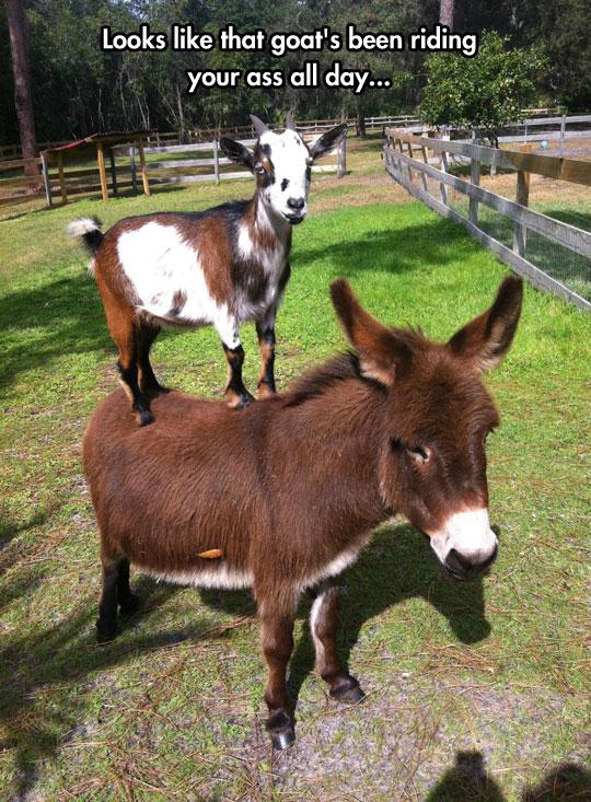 funny-goat-standing-donkey-back-farm