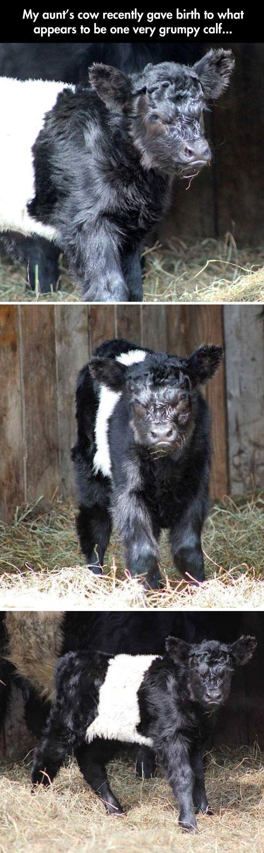 Grumpy Calf